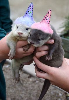 Birthday otters!