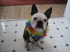 Boston Terrier Parrothead Puppy