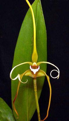 Orchid: Maxillaria fractiflexa