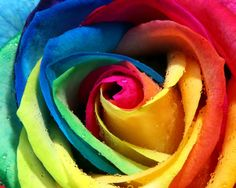 rainbow rose color!