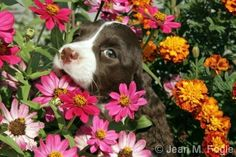 English Springer Spaniel puppy.