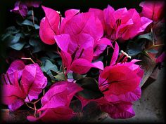 https://flic.kr/p/9D5yV | Bougainvilleas - red (OK, Magenta) |  Canon PowerShot S1 IS Photographed May 21, 2005 2:29 PM Shot on a trip to Liberty Hill Texas bougainvillaea  (KEY) [for L. A. de Bougainville], any plant of the genus Bougainvillea of the family Nyctaginaceae (four-o'clock family); chiefly tropical American woody vines with showy petallike bracts, usually in shades of brilliant red or purple. Bougainvilleas are classified in the division Magnoliophyta, class Magnoliopsida…