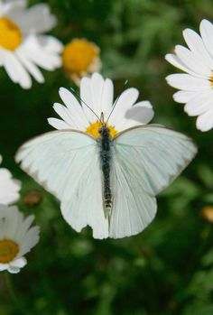 Daisies  Beautiful White Butterfly two of my favorite things.