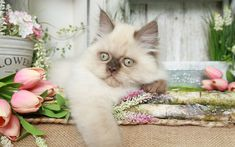 Download wallpapers 4k, Himalayan Cat, kitten, muzzle, cute animals, cats, tulips