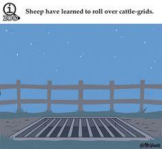 Amusing animal facts…sheep