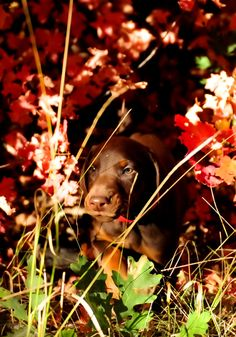 Doberman Pinscher puppy oh my goodness Doberman Rescue, Doberman Puppies, Doberman Pinscher Puppy, Doberman Love, Kinds Of Dogs, All Dogs, Best Dogs, Dogs And Puppies, Doggies
