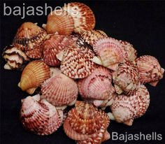 Scallop Shell pink calico Craft shell Sailors Valentine pecten 50p lot 2.5 inch