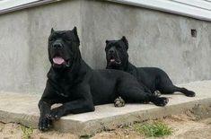Cane corso men in Black Cane Corso Mastiff, Cane Corso Dog, Big Dogs, Cute Dogs, Dogs And Puppies, Giant Dogs, Corgi Puppies, Doggies, Mastiff Breeds
