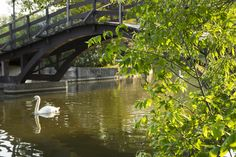 Swan on the Avon River Stratford, Ontario Stratford Ontario, Avon, Canada, River, Photo And Video, Park, Early Morning, Places, Rivers