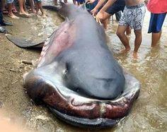 Big jaw toothless shark captured in Phillipines fisherman net...