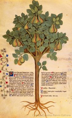 """Historia Plantarum"", Milan, Italie, text: Pedanius Dioscoride of Anazarbos AD), images: Giovannino et Salomone de' Grassi (ca. Medieval Manuscript, Medieval Art, Voynich Manuscript, Illuminated Letters, Illuminated Manuscript, Illustrations, Illustration Art, Illustration Botanique, Science And Nature"