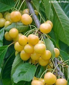 Prunus avium 'Donissens Gelbe' Cherry
