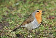 Chipster63 Photography: Red Red Robin...
