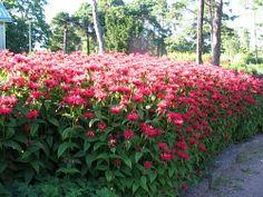 VÄRIMINTTU (Monarda didyma) KORKEUS: 30-100 cm lajikkeen mukaan KUKINTA-AIKA: heinä-elokuu KASVUPAIKKA: aurinkoinen, lievästi varjoinen TALVENKESTÄVYYS: melko kestävä KUKAN VÄRI: lila, punaisen eri sävyt KASVUALUSTA: kuiva, niukkahumuksinen ISTUTUSVÄLI: 30-40 cm Väriminttu viihtyy aurinkoisella tai puolivarjoisella kasvupaikalla. Se menestyy laihassakin maassa ja sietää jonkin verran kuivuutta. Taimet jaetaan muutaman vuoden välein keväällä. Väriminttu on hyvä leikkokukka. Red Perennials, Plants, Garden, Front Yard, Perennials, Flowers, Garden Planning, Backyard