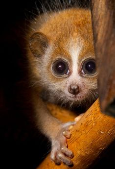 There are no words! Shepreth Wildlife Park's new baby Pygmy Slow Loris...
