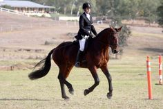 Tregoyd Topper - Stallion Directory  Cleveland Bay