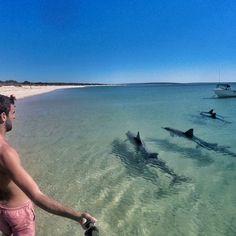 "The ""tame"" wild dolphins at Monkey Mia, Western Australia. Broome Australia, Perth Western Australia, Australia Travel, Australian Road Trip, Visit Melbourne, Visit Victoria, Australian Animals, Water Activities, Beaches In The World"