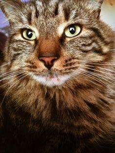 Gorgeous tabby. All Types Of Cats, Maine Coon, Kitty, Tabby Cats, Pictures, Animals, Log Projects, Kitty Cats, Little Kitty