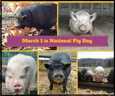 Celebrate National Pig Day not just today on March 1, but everywhere and every day by showing them love all year round! Go vegetarian/vegan and the pigs will thank you!  At Rikki's Refuge, our beloved pigs are treasured and they will live out their lives here at Rikki's surrounded by love.  www.rikkisrefuge.org/feedme