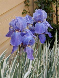 Iris pallida argenta - Chicago garden