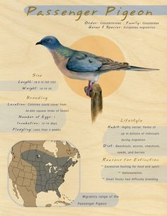 Facts and illustration - Passenger Pigeon