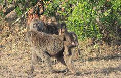 Babbuini  del Masai Mara