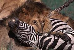 This is another example of a prey-predator relationship between a lion ( tertiary ) and a zebra ( consumed animal )