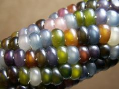 Gem corn - this grows this way!  Amazing.