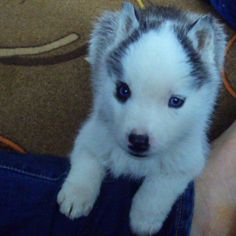 Husky puppy for a new year