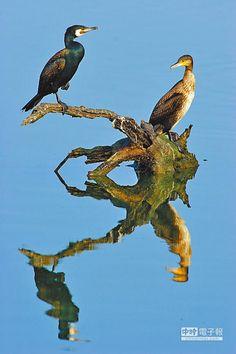 體型碩大的鸕鶿,秋季期間在南台灣經常可見,金門尤其數量眾多。(吳金龍攝,觀光局雲嘉南濱海國家風景區管理處提供)