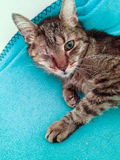 Tuffy is a 10yr. old girl who enjoys the quiet life with just a pinch of catnip. She has hyperthyroidism which is well-controlled with a daily pill. She is available for adoption at the Granny Project, Wayne,Pa.