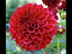 Bunga Dahlia memakai sedotan sebagai alat bantu - YouTube Youtube, Plants, Art, Craft Art, Kunst, Plant, Gcse Art, Youtubers, Planting