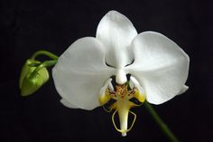 Rare Orchids | Details about Rare orchid species seedling -Phalaenopsis Amabilis