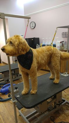 Axle! The Goldendoodle