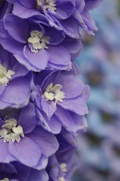 """Delphinium""   [Photo was taken in ""The Kyoto Botanical Garden"" by *nobu*]"