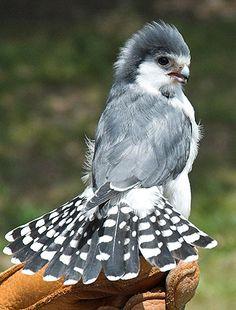 African Pygmy Falcon