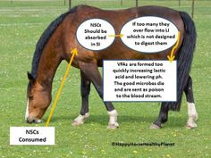 An easy-to-understand article about carbohydrates in equine diets