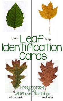 Identification Cards {free printable Free Leaf Identification Cards from Wildflower RamblingsFree Leaf Identification Cards from Wildflower Ramblings Nature Activities, Autumn Activities, Science Activities, Science Area, Cutting Activities, Science Kits, Toddler Activities, All Nature, Nature Study