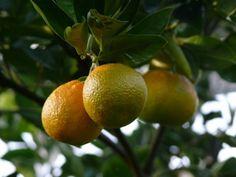 Trois oranges - three oranges - drei Orangen
