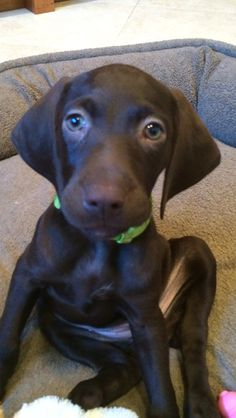 Cute little German Shorthaired Pointer, Remi!!!