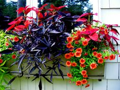 Bold and dramatic container garden for shade ~ lime green and deep purple Sweet potato vine, red Coleus, bright orange Trailing petunias (Million bells)