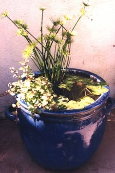 container water garden: mini ecosystem
