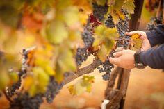 Você sabia que existe rótulos de vinho orgânico? Quais são as características desses produtos? E suas vantagens? Saiba mais nesse artigo!