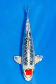Tancho Kujaku, Tosai, 22 cm