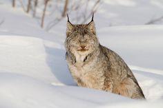 Canadian Lynx enjoying the winter sunshine in the Ogilvie Mountains (Yukon, Canada)