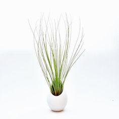 Ivory Ceramic Vase with Juncifolia Air Plant