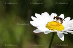 Blumen Margeriten Insekten 2