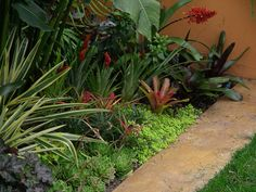 A mixed planting of bromeliads and succulents for a lusher, more tropical look. Included here are Aechmea 'Excelsior', a hybrid between A. recurvata and A. caudata which is the taller red spiked flowering Aechmea in the background, Aechmea recurvata v. ortgiesii, and Aechmea caudata with the largest flowering spike adjacent the wall.