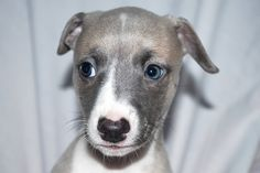 Can never get enough of a whippet face!