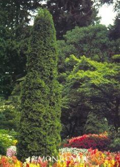 Degroot's Spire Arborvitae (Thuja occidentalis 'Degroot's Spire') - (20' x 4-5') zones 3-8, full sun to part shade